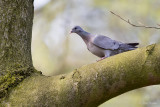Holenduif/Stock dove
