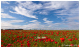 Poppies & Patch -  Anstruther