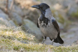 Hooded Crow - Gråkrage - Corvus cornix