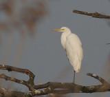 Great Egret - Sølvhejre- Egretta alba