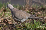 Collared Dove _ Tyrkerdue - Streptopelia decaocto