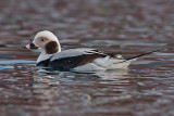 Long-tailed Duck male-Havlit - Clangula hyemalis