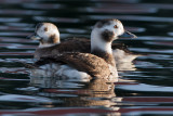 Long-tailed Duck females-Havlit to hunner- Clangula hyemalis