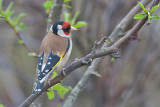Goldfinch - Stillits- Carduelis carduelis