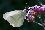 Small White - Lille Kålsommerfugl - Pieris rapae