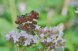 Map Butterfly - Araschina levana - Nældesommerfugl 2. generation