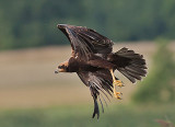 Marsh Harrier - Rørhøg - Circus aeruginosus