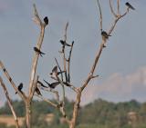 Barn Swallow - Landsvale - Hirundo rustica
