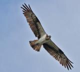 Osprey - Fiskeørn - Pandion haliaetus