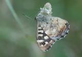Speckled Wood - Skovrandoeje - Pararge aegeria