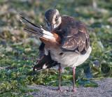 Lapwing - Vibe - Vanellus vanellus