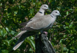 Colared Dove - Tyrkerdue - Streptopelia decaoto