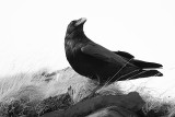 Raven - Ravn - Corvus corax