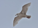 Glaucous Gull - Gråmåge - Larus hyperboreus