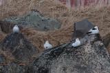 Snow Bunting male - Snespurv han - Plectrophenax nivalis