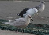 Iceland Gull - Hvidvinget Måge - Larus laucoides
