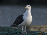 Great Black-backed Gull - Svartbag . Larus marinus