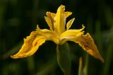 Gul Iris - Iridaceae - psesudacorus