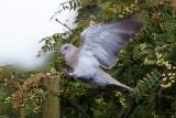 Colare Dove - Tyrkerdue - Streptopelia decaoto