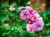 Auckland Roses