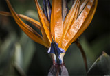 Face-On View of Bird of Paradise