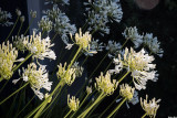 Agapanthus in Bloom