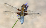 Broad-bodied Chaser on Lavender
