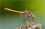 Common Darter male