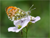 Orange-tip (Anthocharis cardamines)
