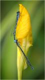 Azure Damselflies on Yellow Iris