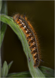 Drinker Moth Caterpillar