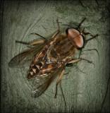 Dark Giant Horsefly
