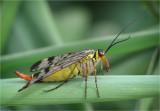 Scorpion Fly (female)
