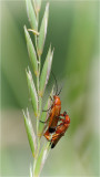 Common Red Soldier Beetles