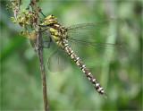 Southern Hawker (female)