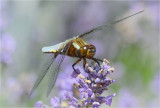 Broad Bodied Chaser on Lavender