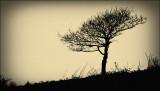 Lone tree, Caerphilly Mountain