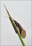 Female Alder Fly guarding her eggs.