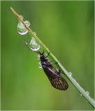 Alder Fly sheltering from the rain.