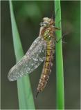 Hairy Dragonfly. Brachytron pratense