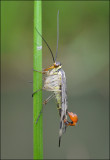 Scorpion Fly (male)