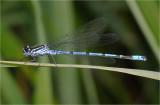 Azure Damselfly (male).
