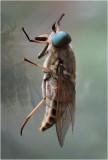 Dark Giant Horsefly (Tabanus sudeticus)
