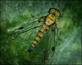Chrysopilus splendidus