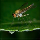 Snipe Fly (Chrysopilus splendidus)