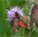 Six Spot Burnet on Knapweed
