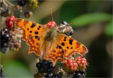 Comma on Bramble