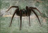 Tube Web Spider (Segestria Florentina)