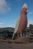 The Big Galah, Kimba