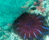 the coral eating bad guy of coral reefs, the crown of thorns starfish